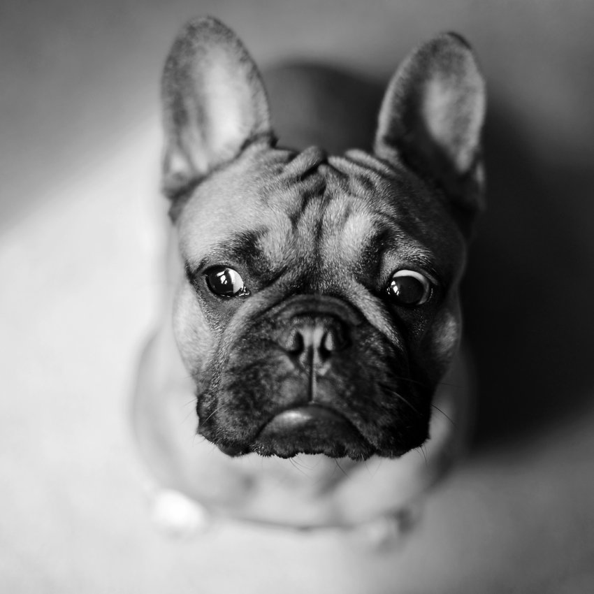 Wellington, French Bulldog from UK